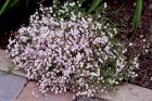 "Gypsophila repens ""Creeping Baby's Breath"