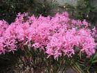 "NERINE bowdenii ""The Guernsey Lily"""