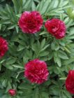 PAEONIA  officinalis  RUBRA PLENA